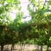 Cantina Pedres vingård i Olbia